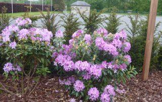 Tuinaanleg, tuinontwerp, Rhododendron, Gelrode