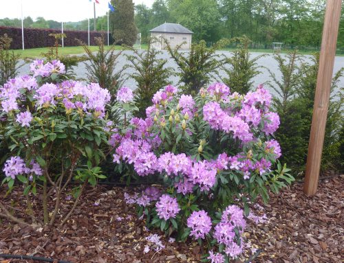 Tuinontwerp, beplanting, Rhododendron